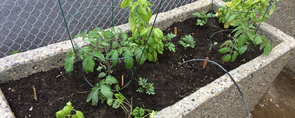 Tomatoes, Basil and Marigolds!